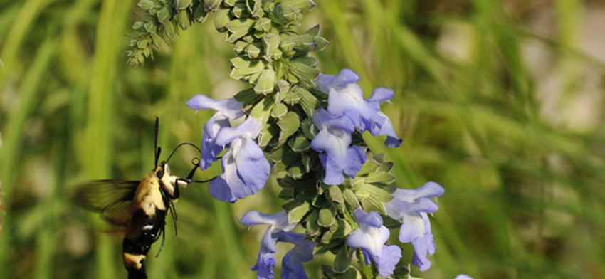 Photo of the week hummingbird moth list image