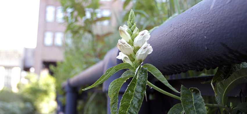 Plant of the week white turtlehead list image