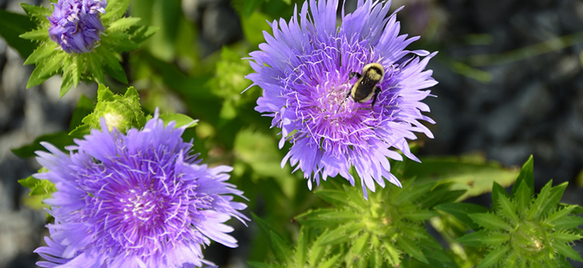 Plant of the week peachie s pick stokes aster list image