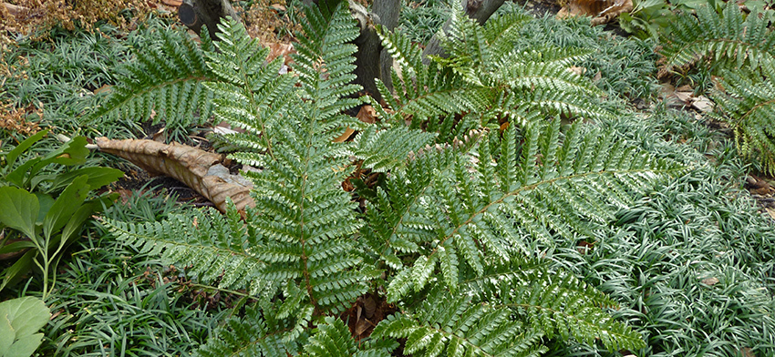 Plant of the week korean tassel fern list image