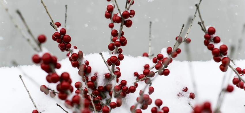 Plant of the week winterberry list image